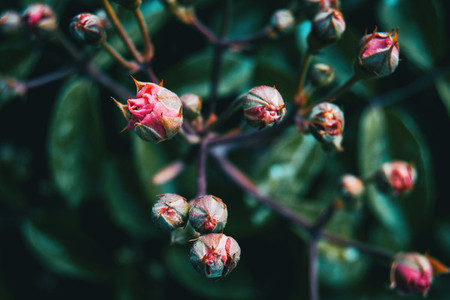 Detail of some pink buds of rose in the wild