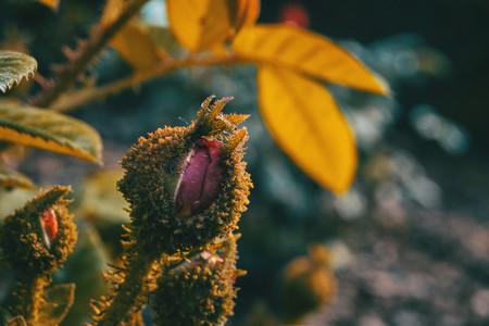Detail of a furry rosebud blooming