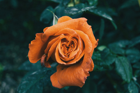 Macro of an open orange rose centered on the picture