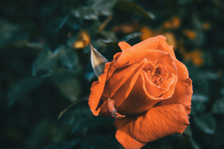 Macro of an orange open rose in the wild