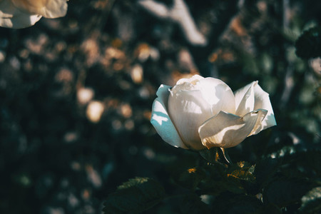 Close up of a white open rose in the wild