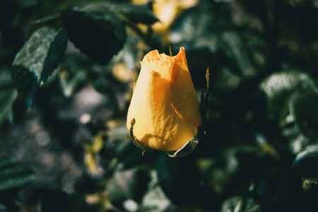 Close up of an isolated yellow rose