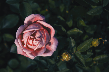 Close up of a beautiful pink open rose
