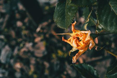 Close up of an orange rose with twisted petals