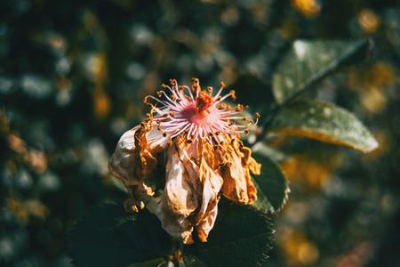 Macro of a withered white rose illuminated
