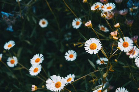 Close up of some white flowers of erigeron