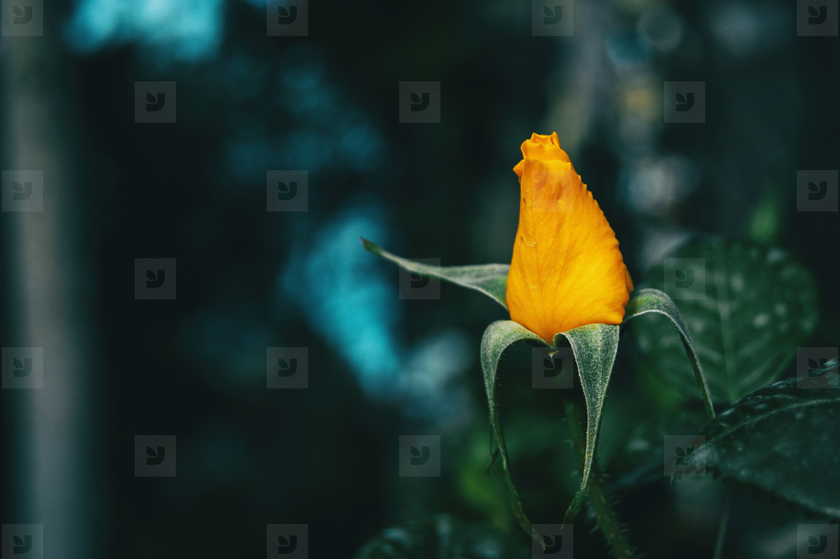 Close up of a yellow closed rose on an unfocused background