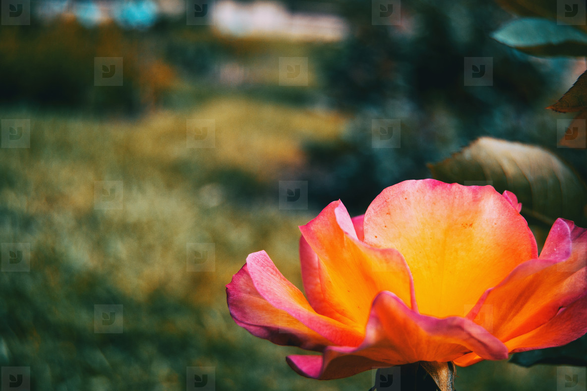 Close up of a brightly colored open rose illuminated by sunlight