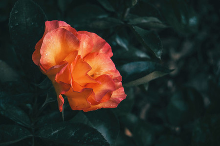 Detail of a beautiful peach rose on an unfocused background