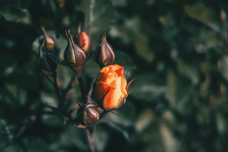 Close up of an orange rose on a bunch surrounded by closed rosebuds