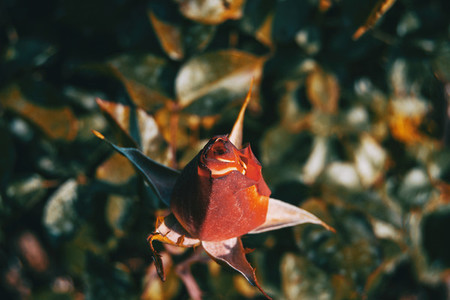 Detail of a red closed rose centered in the picture