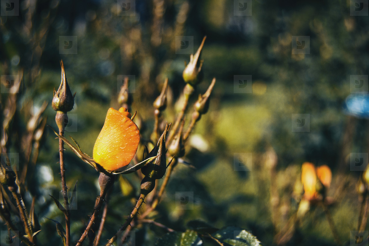 Detail of a closed yellow rose between some rosebuds