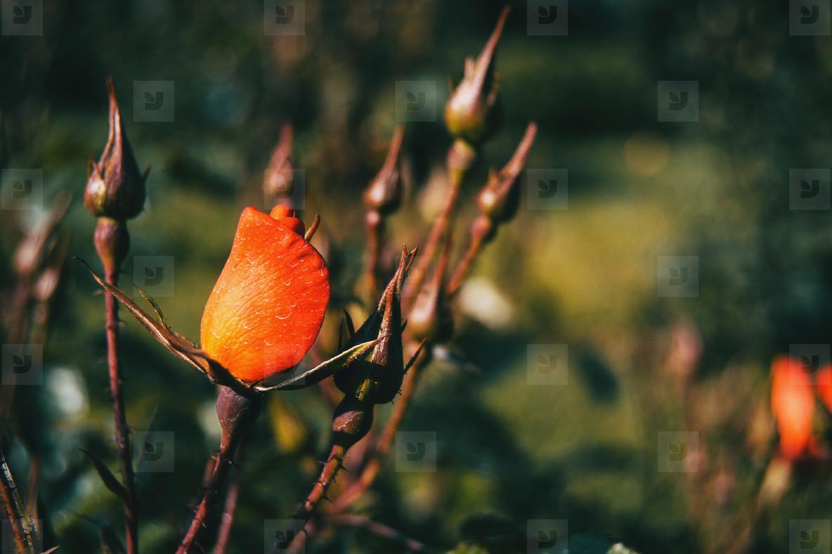 Detail of a closed reddish rose between some rosebuds
