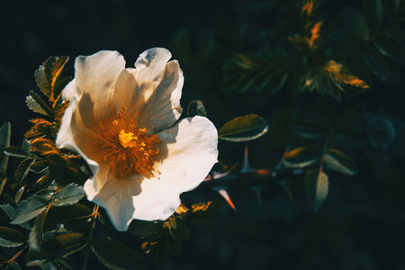Detail of an open white rose illuminated by sunlight