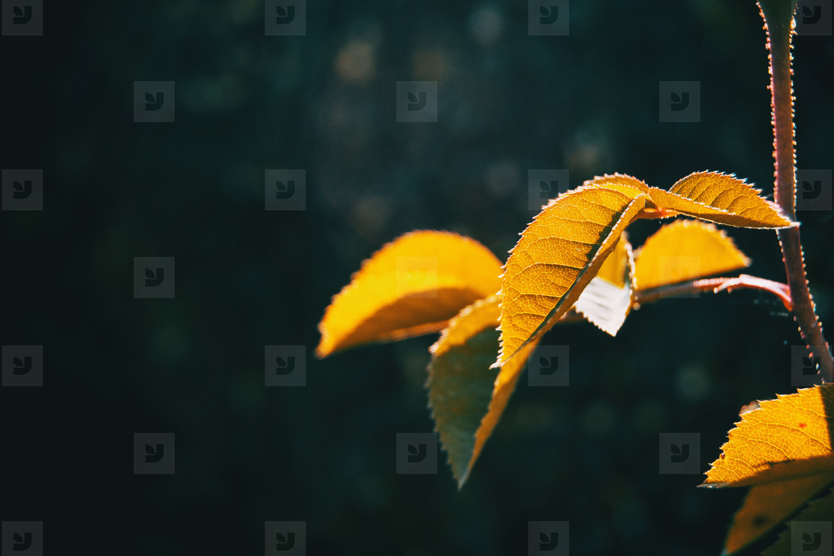 Close up of some leaves on a stem illuminated by sunlight