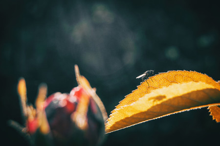Macro of a black bee resting on a yellowish leaf