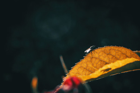 Macro of a yellowish leaf with a black bee resting on it