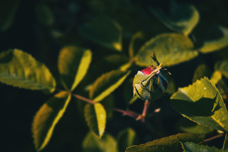 Detail of a red rosebud blooming surrounded by green leaves