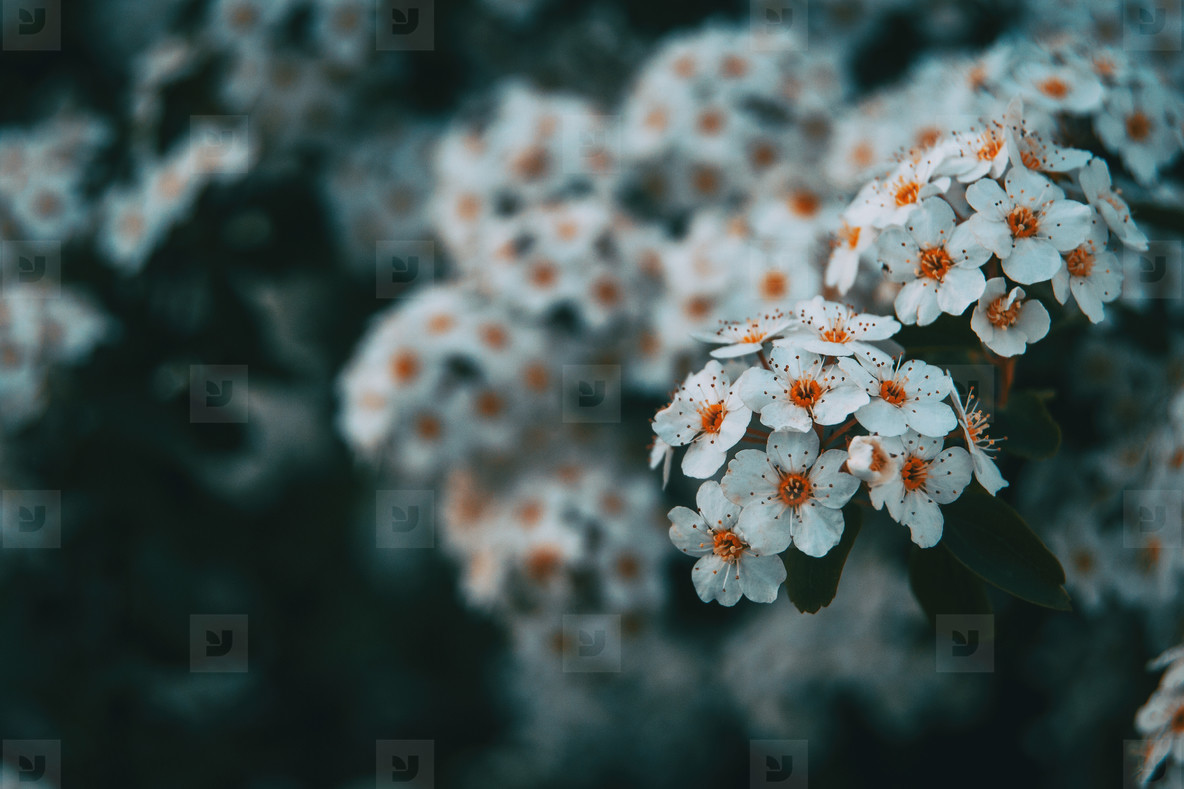 Close up of some bunches of white crataegus monogyna