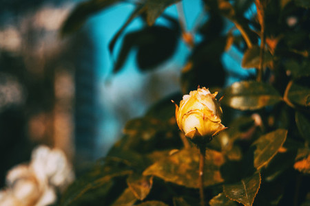 Close up of an isolated yellowish closed rose