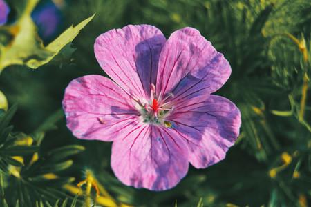 Macro of a violet flower of geranium illuminated by sunlight
