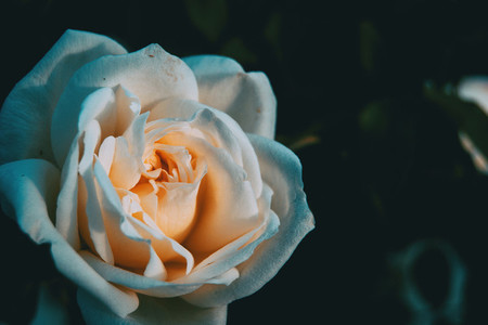 Macro of an open white rose on a neutral background