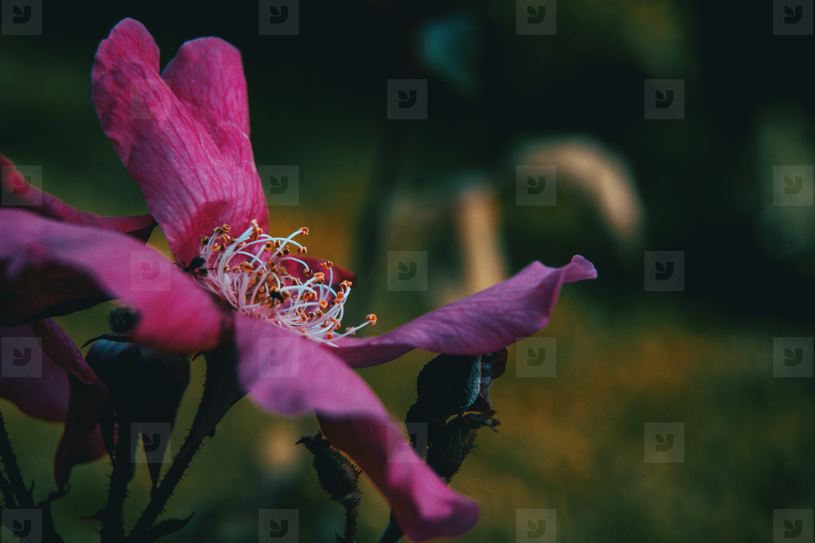 Detail of the stamens of an open pink rose
