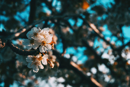 Close up of some white prunus flowers on a branch