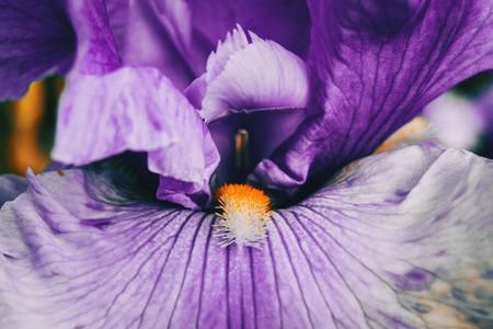 Macro of the inside of a purple flower of iris germanica