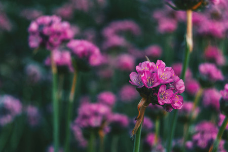 Close up of some tiny pink flowers of armeria maritima