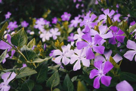 Close up of a lot of purple and white flowers of vinca major