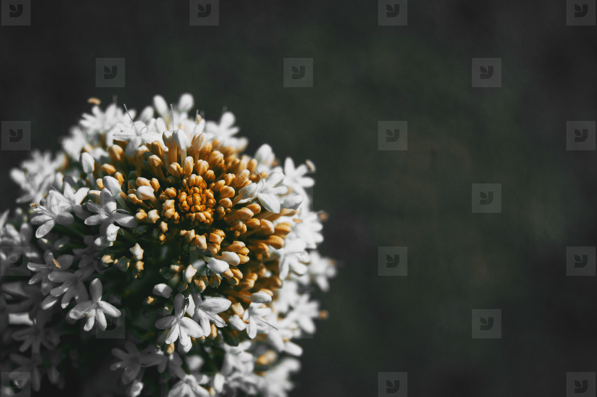 Close up of a round bunch of white flowers of centranthus ruber
