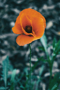 Close up of an isolated orange flower of papaver rhoeas