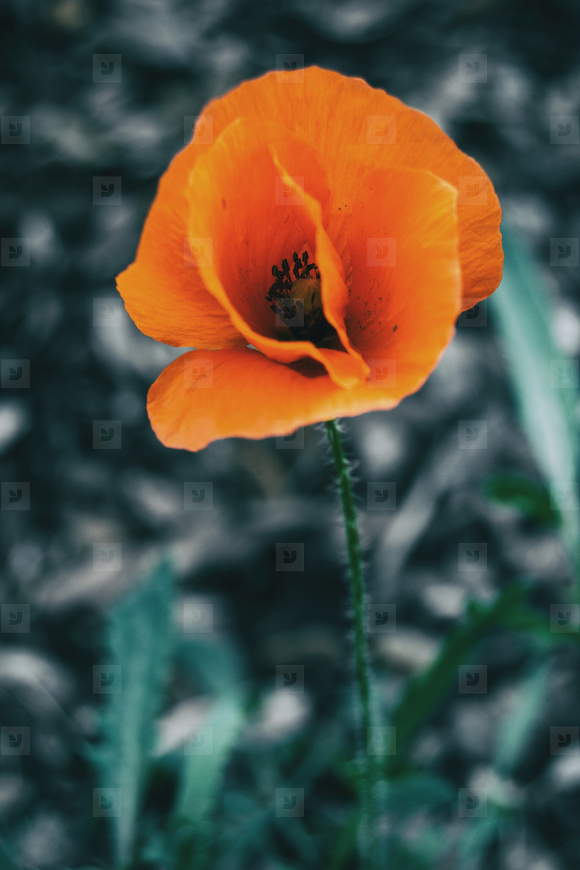 Detail of an isolated orange flower of papaver rhoeas