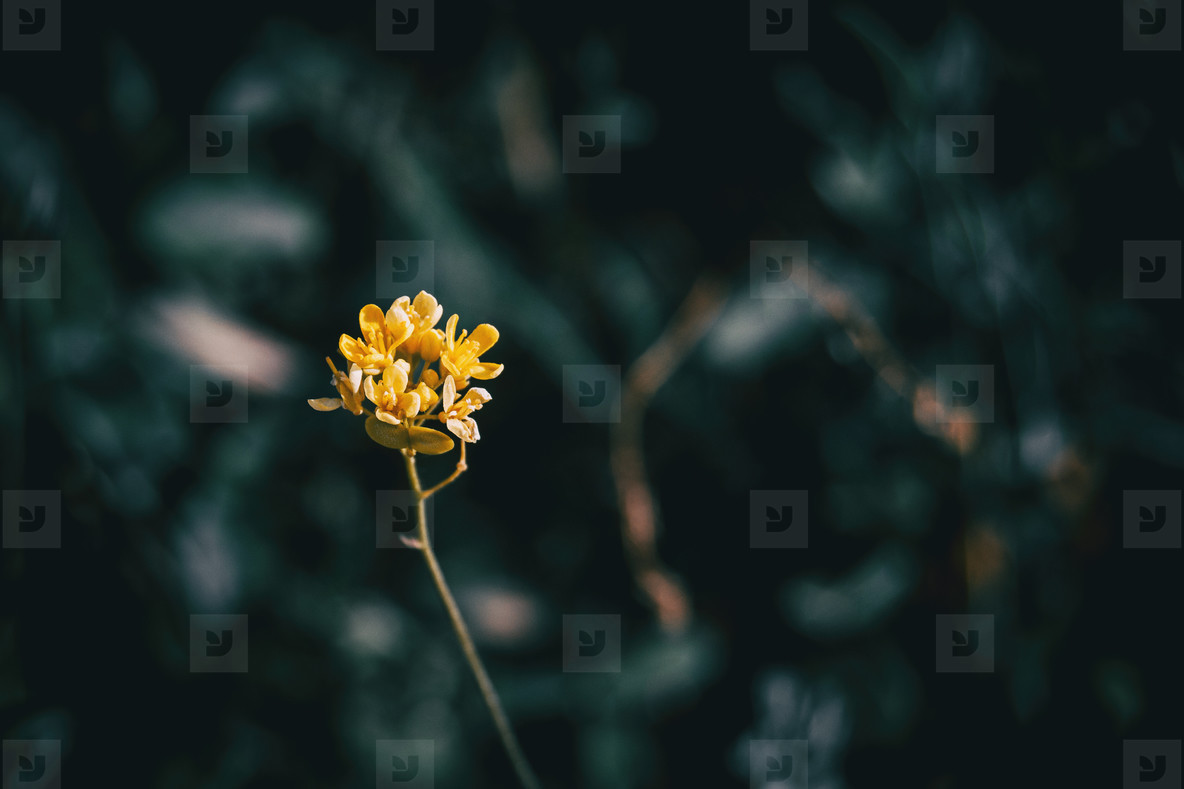 Close up of an isolated bunch of small yellow flowers