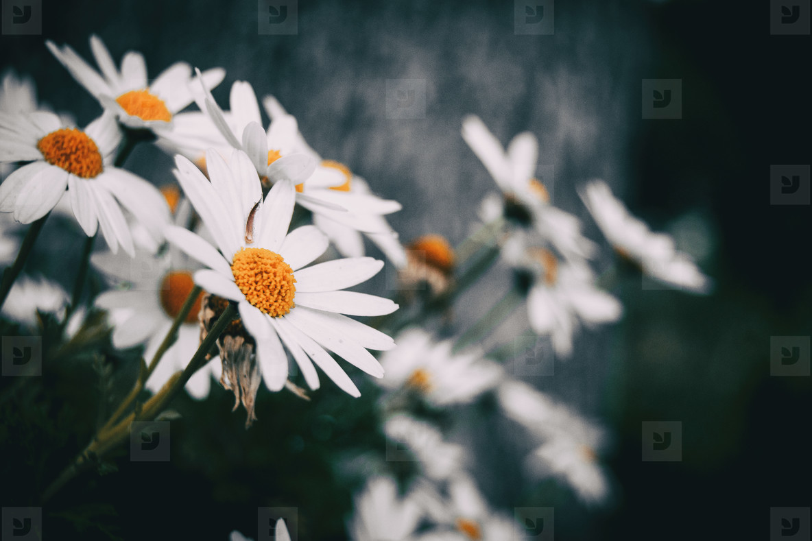 Close up of a white leucanthemum flower of a bunch