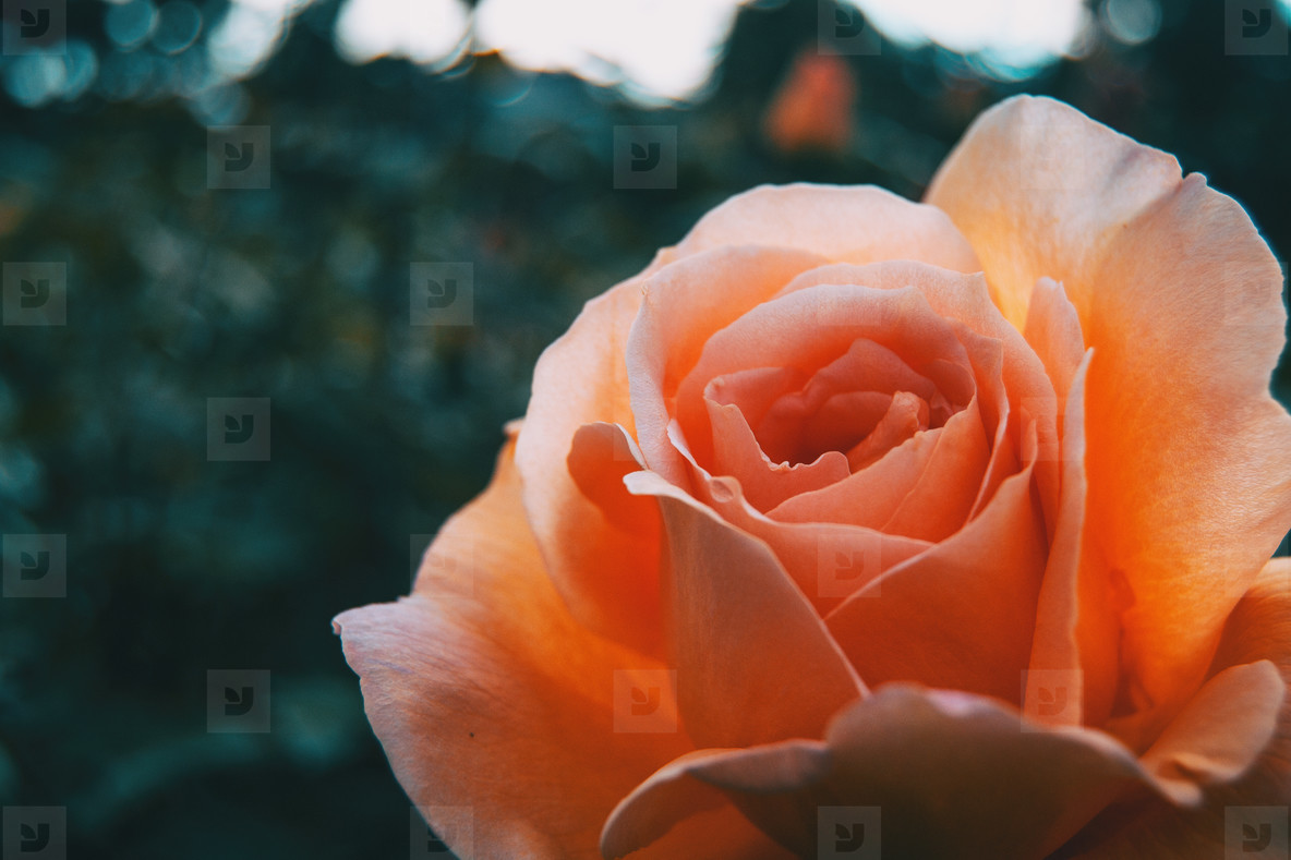 Macro of an elegant open apricot rose on bokeh background
