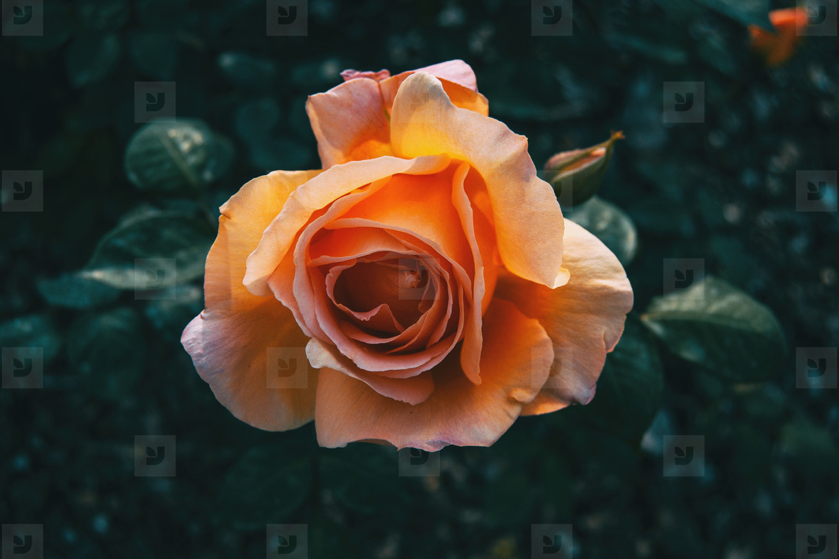 Detail of an open apricot rose centered in the picture