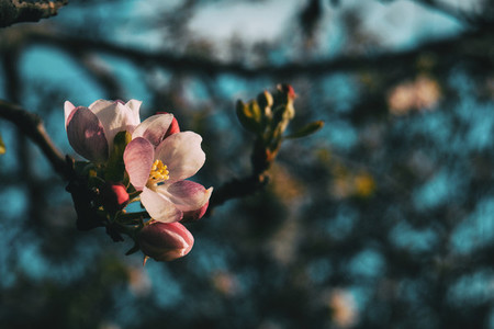 Close up of a white flower and some pinky buds of prunus on a branch