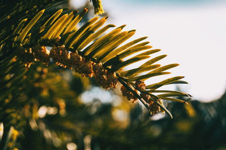 Close up of the leaves of a flourished branch of abies