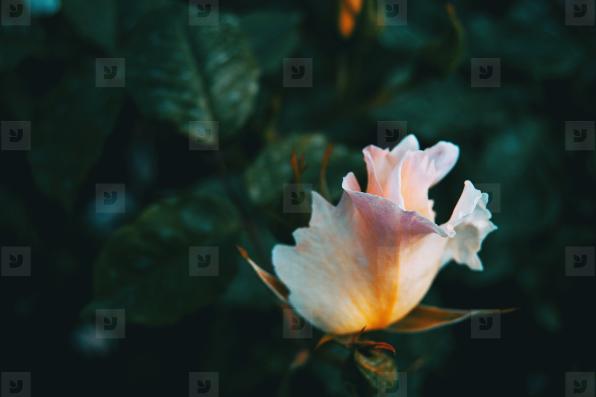 Close up of a white rose with few petals