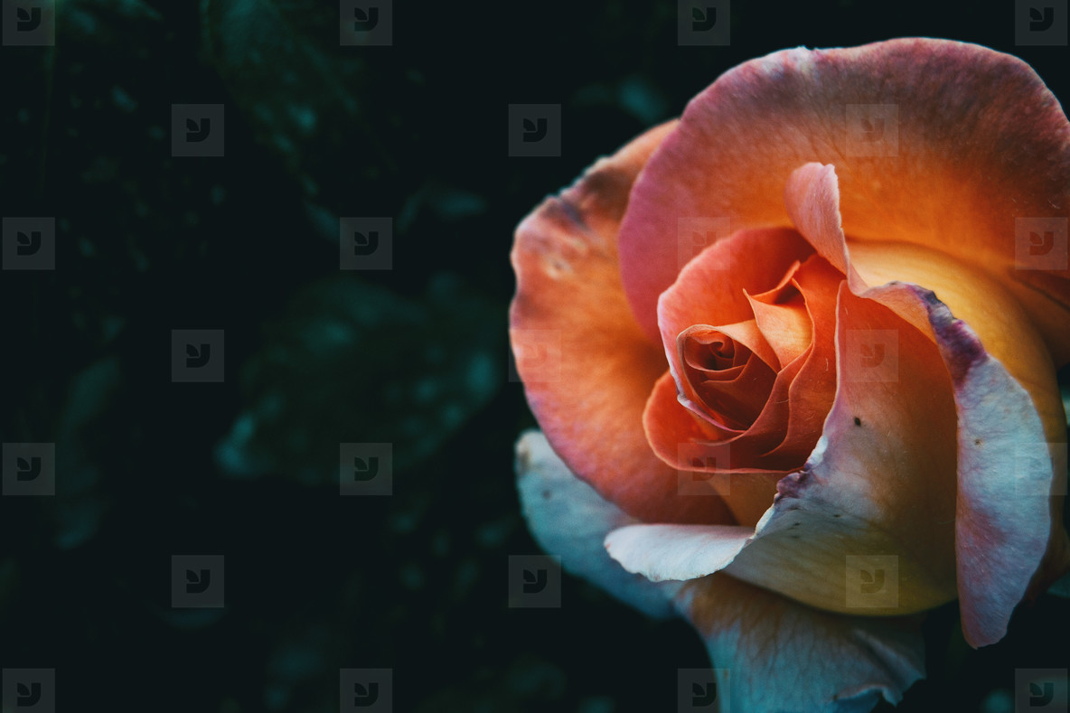 Macro of an apricot rose