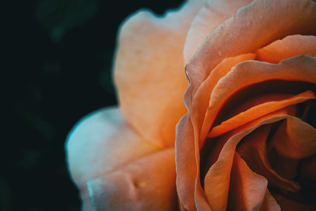 Macro of a half of an apricot rose on extreme close up