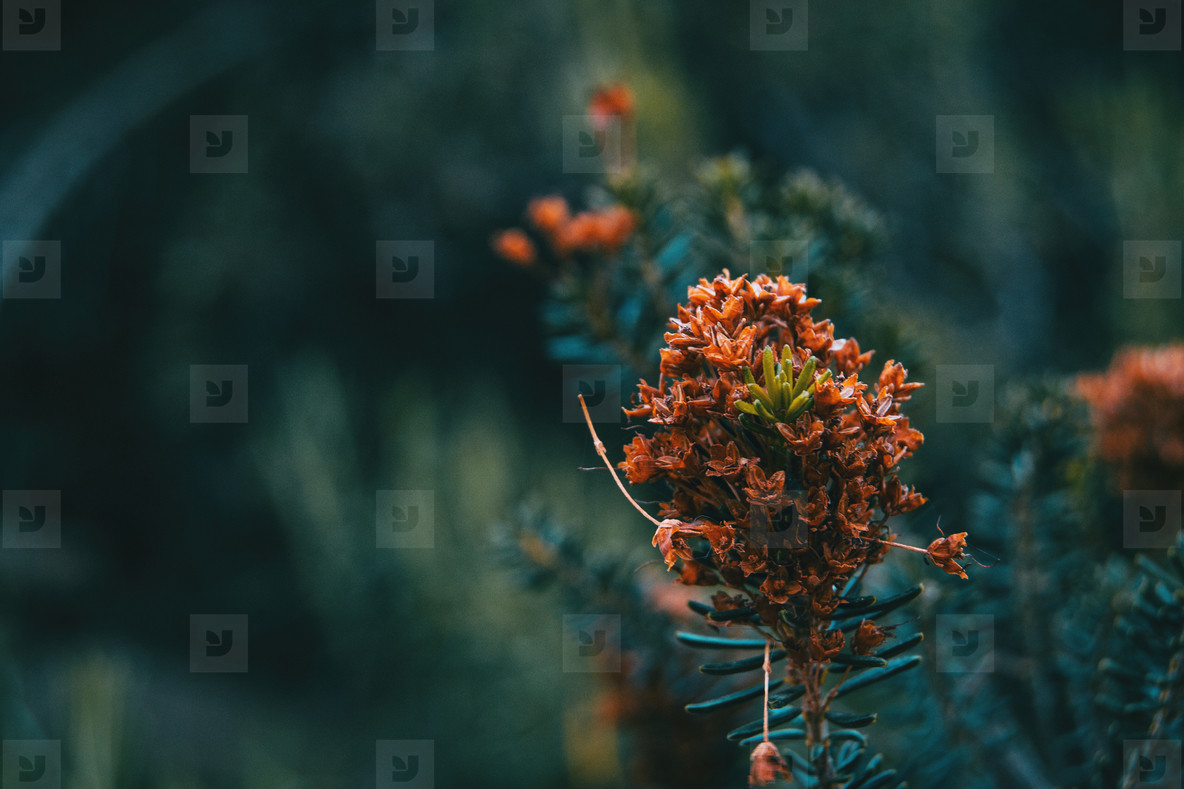 Close up of a bunch of small dried flowers of an erica vagans plant