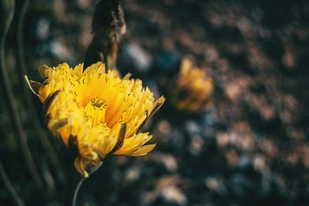 Close up of an open yellow flower in the wild