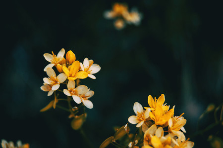 Close up of a raceme of white and golden yellow flowers of ribes aureum