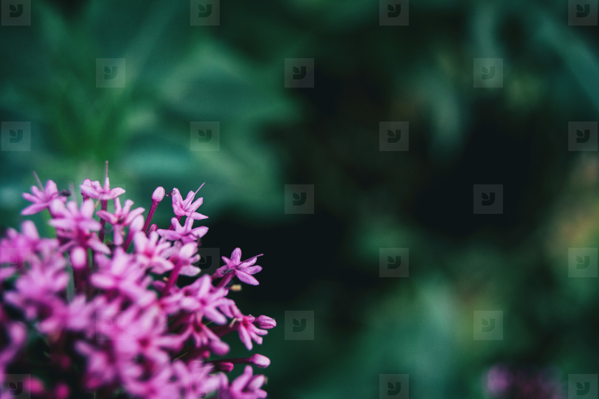 Close up of some small pink flowers of a bunch of centranthus ruber