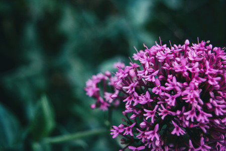 Close up of a bunch of small pink flowers of centranthus ruber
