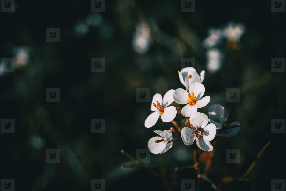 Close up of a bunch of white flowers of arabis alpina