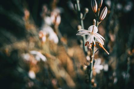 Close up of a white asphodelus flower on a stem